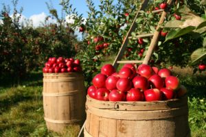 Apple Trees and Barrels of Apples