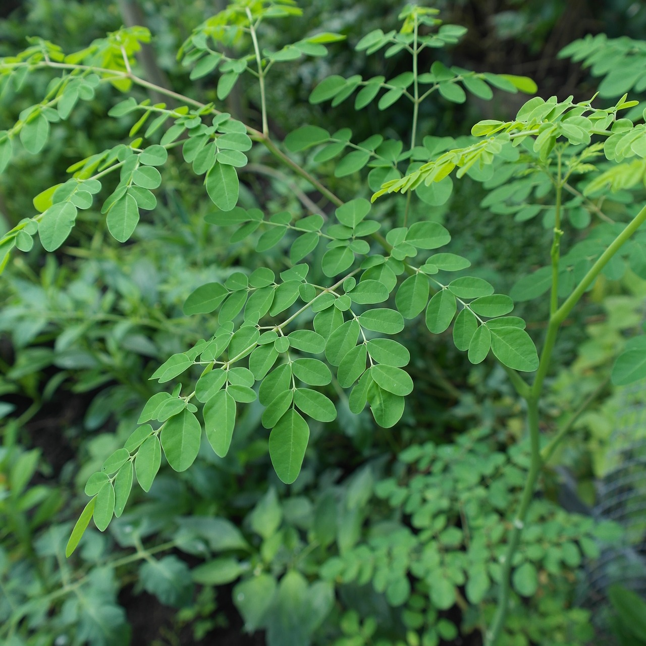 Health Benefits of Moringa